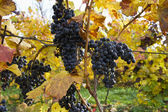 Detail of purple grapes in wine yard, autumn — Stock Photo
