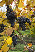 Detail of purple grapes in winery, autumn — Stock Photo