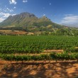 ������, ������: Vineyard in stellenbosch South Africa
