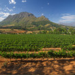 Stock Photo: Vineyard in stellenbosch, South Africa
