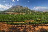 Bağ stellenbosch, güney afrika — Stok fotoğraf