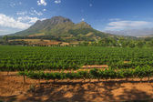 Vineyard in stellenbosch, South Africa — Stock Photo