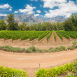 Stellenbosch vineyard - Stock Photo