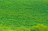Stellenbosch, cuore della regione viticola in sud afri — Foto Stock