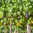Grape bunches hanging from vine — Stock Photo
