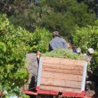 Постер, плакат: Picking grapes Stellenbosch South Africa
