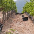 Grape harvesting in the vineyards at Stellenbosch — Stock Photo