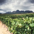 Vineyard - Stellenbosch, Western Cape, South Africa — Stock Photo