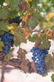 Vin 葡萄 — 图库照片