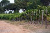Vineyard - stellenbosch, west-kaap, zuid-afrika — Stockfoto