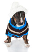 Black bull terrier dog in clothes — Stock Photo