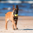 Belgian shepherd malinois puppy — Stock Photo