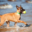 Stock Photo: Belgishepherd malinois puppy