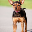Small mixed breed dog — Stock Photo