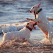 Bull terrier dogs jumping in the water - Stock Photo