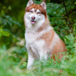 Brown siberian husky portrait outdoors — Stock Photo #17378633