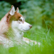 Brown siberian husky portrait outdoors — Stock Photo #17378637