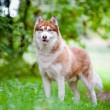 Brown siberian husky portrait outdoors — Stock Photo #17378645