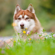 Brown siberian husky portrait outdoors — Stock Photo #17378663
