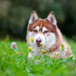 Brown siberian husky portrait outdoors — Stock Photo #17378665