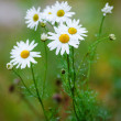 Daisies after the rain — Stock Photo