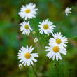 Wild daisies after the rain — Stock Photo