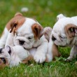 English bulldog puppies playing together — Stock Photo