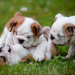 English bulldog puppies playing together — Stock Photo #17378697