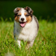 Australian shepherd dog puppy - Stock Photo