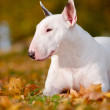 White bull terrier dog — Stock Photo