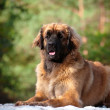 Leonberger dog portrait outdoors — Stock Photo