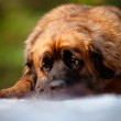 Leonberger dog portrait outdoors — Stock Photo #17378977