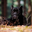 Cane corso dog portrait outdoors - Stock Photo