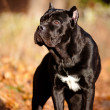 Cane corso dog portrait outdoors — Stock Photo #17379023