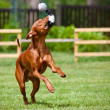 Cirneco del etndog playing — Stock Photo #17379077