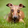 Italian greyhound dog — Stock Photo