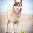 Brown siberian husky portrait outdoors - Stock Photo