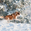 Siberian husky dog in winter — Stock Photo