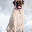 English mastiff dog portrait in the snow — Stock Photo #17379277