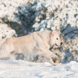 Golden retriever dog jumps in the snow — Stock Photo #17379281