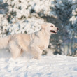 Golden retriever dog jumps in the snow — Stock Photo #17379283