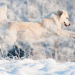 Stock Photo: Golden retriever dog jumps in the snow
