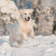 Golden retriever dog jumps in the snow — Stock Photo #17379305