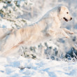 Golden retriever dog jumps in the snow — Stock Photo