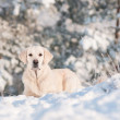 Golden retriever dog winter portrait — Stock Photo #17379343