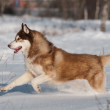 Brown siberian husky running outdoors — Stock Photo
