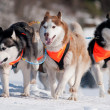 Siberihusky sled dogs race — Stock Photo #17379409