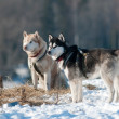 Stock Photo: Two siberian huskies outdoors