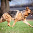German shepherd dog movements — Photo