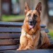 German shepherd dog lying on a bench — Stock Photo